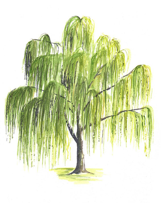 weeping-willow-tree-drawing-56